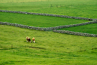 Cows in pasture with stone fence. Ireland