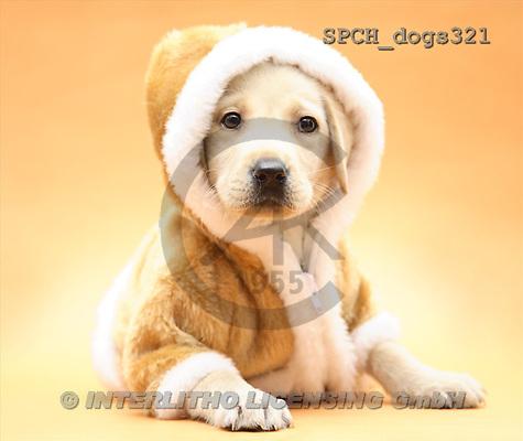 Xavier, ANIMALS, dogs, photos(SPCHdogs321,#A#) Hunde, perros