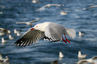 Silver Gull in Flight off Wollongong