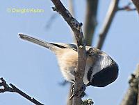 1J04-561z  Black-capped Chickadee,  Poecile atricapillus or Parus atricapillus