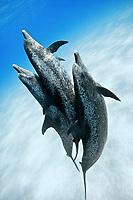 Atlantic spotted dolphin, Stenella frontalis, Grand Bahama Bank, Bahamas, Caribbean, Atlantic