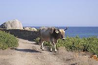 - Sardegna, isola dell' Asinara, bovino allo stato brado<br /> <br /> - Sardinia, Asinara island, cattle in the wild