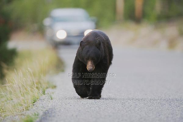Black Bear (Ursus americanus), adult walking on road, Yellowstone National Park, Wyoming, USA