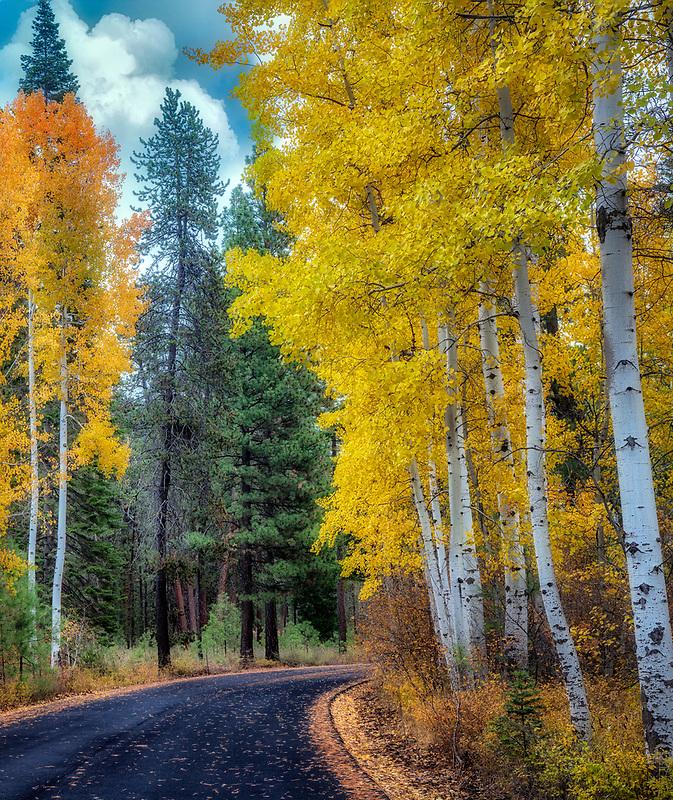 Aspen lined road in fall color. Black Butte Ranch, Oregon