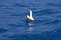 An adult masked booby (Sula dactylatra) following the National Geographic Endeavour in the tropical South Atlantic Ocean off the coast of Brazil. This bird has an ingeneous hunting tactic: to glide near the bow and wait until the forward progress of the ship forces flying fish to try and avoid the ship by flying, the booby then dives after the fish attempting to escape! This is the largest booby, at 91 cm (3 ft) length, 152 cm wingspan (5 ft) and 1500 g (3.3 lbs) weight. Masked Boobies are spectacular divers, plunging diagonally into the ocean at high speed. They mainly eat small fish, including flying fish.