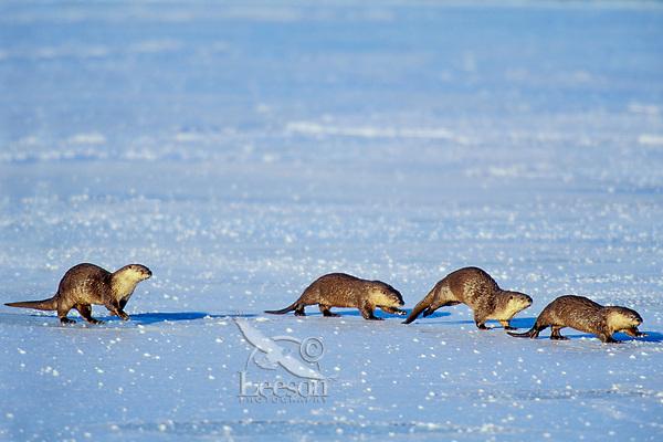 Family of River Otter traveling across frozen lake.  Western U.S.  Winter.