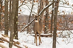White-tailed doe in a northern Wisconsin forest.
