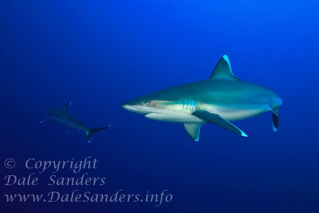 Silvertip Sharks (Carcharhinus albimarginatus) cruises a coral reef off New Britain Island, Papua New Guinea.
