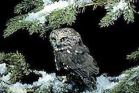 OW02-311a  Saw-whet owl - Aegolius acadicus