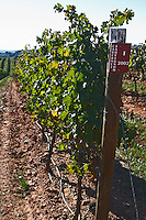 cabernet sauvignon vineyard herdade de sao miguel alentejo portugal