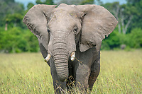 A frontal view of an African bush elephant (Loxodonta africana), aka African savanna elephant in Maasai Mara National Reserve , Kenya