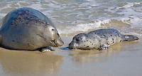 Harbor Seals (Phoca vitulina richardsi) La Jolla, California