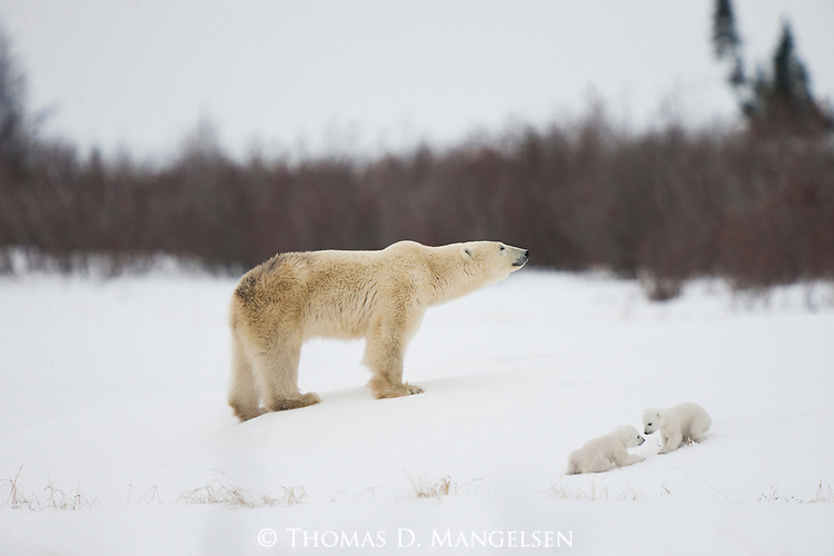 Two polar bear cubs play near their mother in the soft snow in Manitoba, Canada.