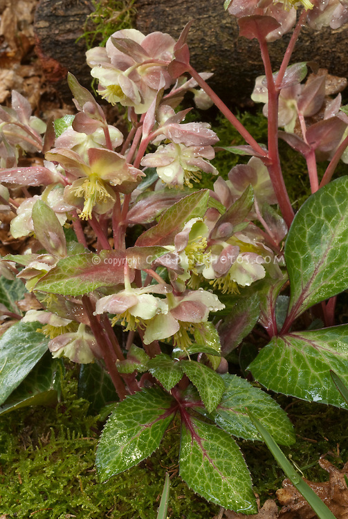 Pink and yellow spring flowers of Hellebore lividus, Helleborus lividus, with marbled foliage