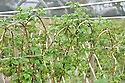 Summer-fruiting 'Octavia' raspberries, mid April. Last year's new canes are left unpruned in winter, tied in to wires, and arched over to keep them tidy and prevent wind damage. New growth appears in spring, and they will fruit in summer.