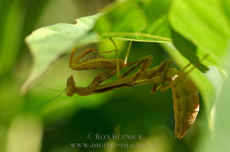 Mantis under leaf, California Mantis female, Stagmomantis californica, Praying Mantis, Southern California
