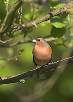Buchfink, Männchen, Buch-Fink, Fringilla coelebs, Chaffinch, Pinson des arbres