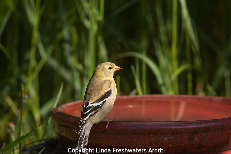 Female American golfinch perched on a bird bath