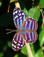 Female Mexican bluewing