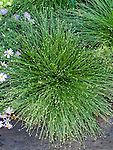 Fiber Optic Grass, Scirpus cernuus