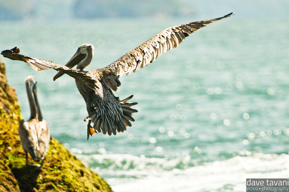 A brown pelican lands on a moss-covered rock at Playa Conchas Chinas in the state of Jalisco, Mexico, August 14, 2006.