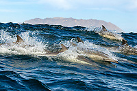 Common dolphin (delphinus delphis) Common dolphins surfing in a large swell.Gulf of California., Baja California, Mexico, Pacific Ocean