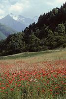 Europe/France/Midi-Pyrénées/65/Hautes-Pyrénées/Guchan: Champs de pavots