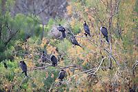 Neotropic Cormorant (Phalacrocorax brasilianus mexicanus), flock roosting in a tree at the Riparian Preserve at Water Ranch, Gilbert, Arizona.