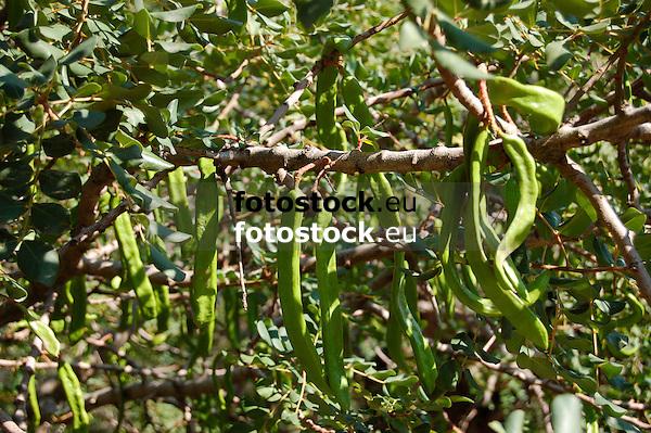 Carob tree (bot.: Ceratonia siliqua) with carob pods (St John's Bread)<br /> <br /> algarrobo con algarroba<br /> <br /> Johannisbrotbaum mit Johannisbrotfrüchten<br /> <br /> 3008 x 2000 px<br /> 150 dpi: 50,94 x 33,87 cm<br /> 300 dpi: 25,47 x 16,93 cm