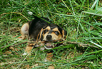 Beagle puppy heaven- warm day, cool grass and a stick to chew on, happy dog
