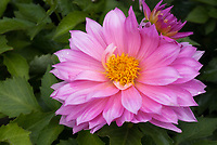 Dahlia Gallery Renoir, pink flowers, Gallery series, decorative dahlia