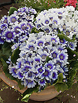 Cineraria Star Wars Blue Band