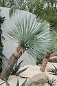 Yucca rostrata, Arid Side, Juxtaposition Garden, designed by Jack Dunckley, Silver Gilt medal winner, RHS Chelsea Flower Show 2013.