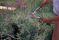 Woman shearing lavender plants in the garden, using pruning shears