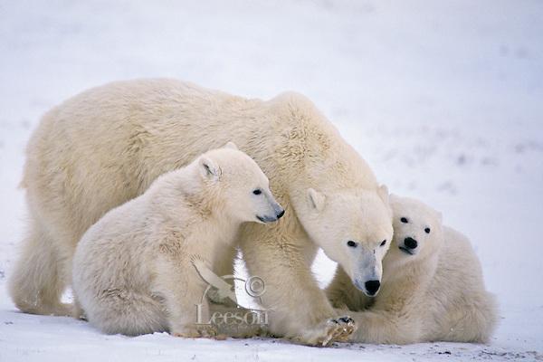 Polar bear (Ursus maritimus)--mother and cubs