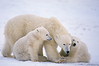 Polar bear (Ursus maritimus)--mother and cubs
