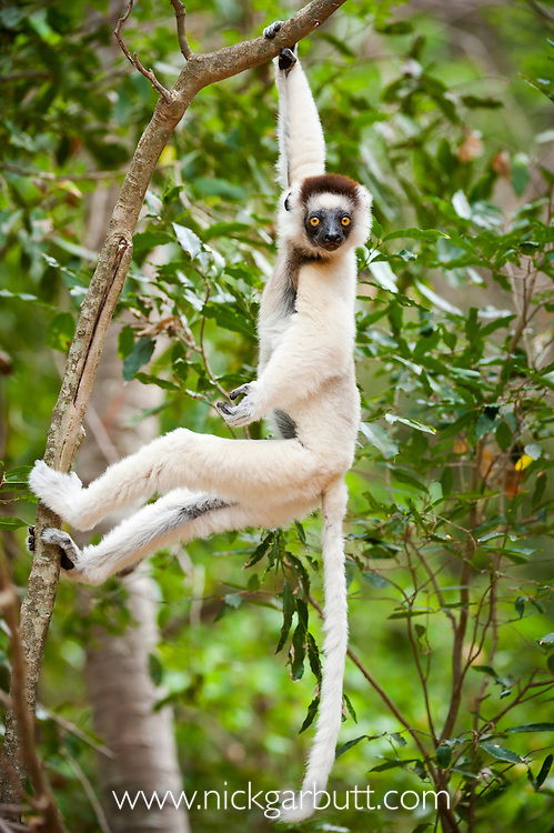Verreaux's Sifaka (Propithecus verreauxi) hanging in relaxed posture from a branch in the canopy. Berenty Private Reserve, southern Madagascar.