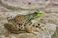 Green Frog (Lithobates clamitans or Rana clamitans melanota) (do) Photographed in Central Ohio.