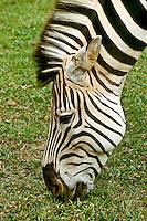 Greveys Zebra, Equus Grevyi, Grazing on grass in Kenya