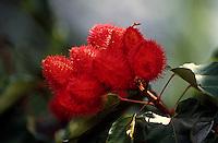 Nomes populares : Urucum, Urucu, Açafroa, Açafroeira da terra.. Família: Bixacea. Planta Pioneira de pequeno porte, adulto de até 5 m de altura. Esta árvore é cultivada em muitas regiões do país, e sua semente é usada para condimento e coloração de alimentos, coloração esta proveniente da orelina (amarelo) e a bixina (vermelho), um dos poucos corantes vermelhos permitido para uso em alimentos. É também usado por índios para pintura de pele e repelente de insetos e para rituais religiosos. Rápida em seu crescimento, pode ser usada em reflorestamentos e como ornamental.<br /> <br /> Tefé, Amazonas, Brasil.<br /> <br /> Foto Paulo Santos