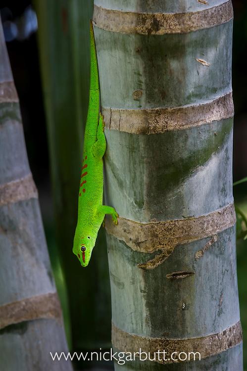 Giant Day Gecko (Phelsuma madagascariensis grandis) basking on palm trunk. Iharana (Vohemar) northern Madagascar.