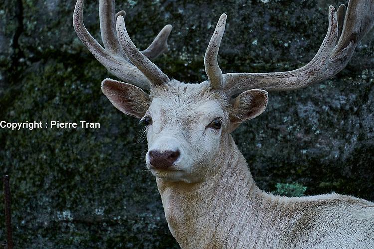 Animaux dans la nature a Montreal et les environs, 2021 - cerf<br /> <br /> Photo : Pierre Tran - AQP