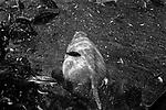 """Nymph""<br /> Hippopotamus Enclosure<br /> Bush Gardens, Florida. <br /> From the ""Captivity"" series<br /> © Thierry Gourjon-Bieltvedt"