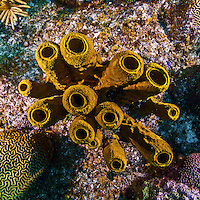 11 June 2014: A cluster of Yellow Tube Sponges (Aplysina insularis) is seen while exploring the reef scenery at Lemon Reef, on the North Shore of Grand Cayman Island. Located in the British West Indies in the Caribbean, the Cayman Islands are renowned for excellent scuba diving, snorkeling, beaches and banking.  Mandatory Credit: Ed Wolfstein Photo *** RAW (NEF) Image File Available ***
