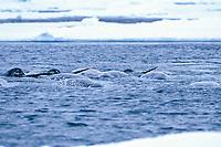 narwhal, Monodon monoceros, Baffin Island, Nunavut, Canada, Canadian Arctic