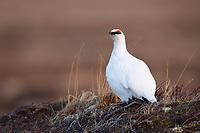 Adult male Rock Ptarmigan (Lagopus muta) in courtship plumage. Chukotka, Russia. May.