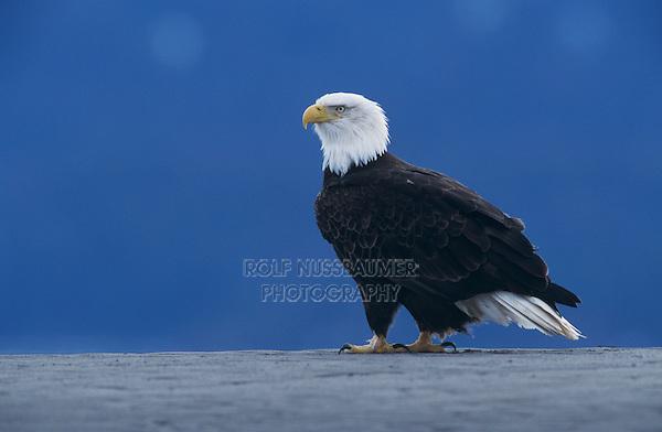Bald Eagle, Haliaeetus leucocephalus,adult on beach, Homer, Alaska, USA
