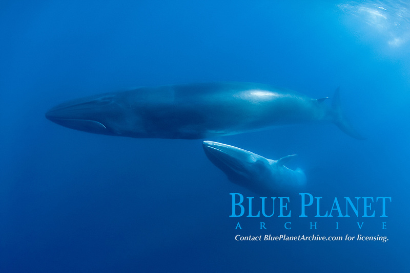 Bryde's whale, Balaenoptera brydei or Balaenoptera edeni, with calf off Baja California, Mexico (Eastern Pacific Ocean)
