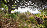 Grasses under native Oak tree in summer-dry California garden;