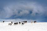 Herd of horses in snow, Glacier County, northeaster, Montana